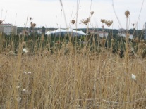 dry grasses and wild flowers before the campus symphony