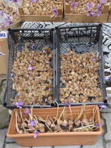 Saffron bulbs for sale