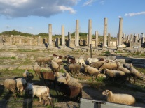The sheep of Perga