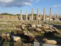 The sheep of Perga