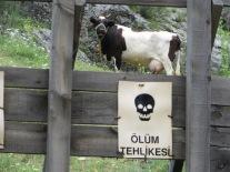 cow danger
